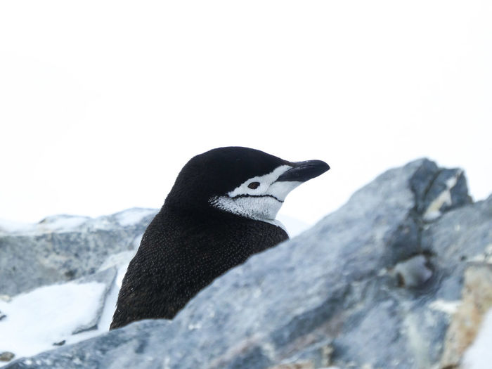 Close-up of penguin on rock against sky