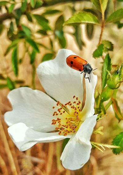 Insectes Insecto Insectos Insect Photo Insects Collection Insect_perfection Insect Photography Insects  Insect Mariquita Mariquita♥ Mariquitas Primavera Flowers Flower Flores