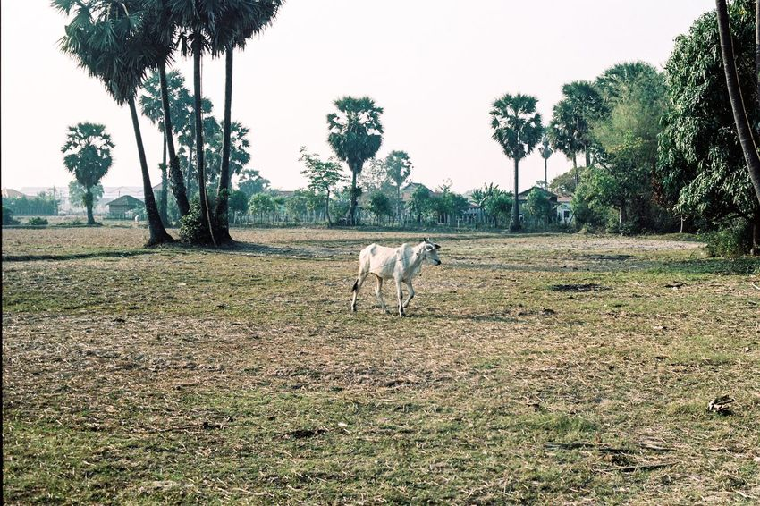 A cow in Cambodia Film Photography Ae-1 Canon Cow Tree Animal Themes Mammal One Animal Grass Field