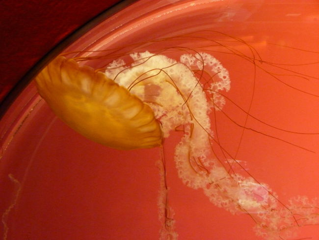 Chrysaora Jellyfish Gallery Aquarium Aquarium Life Close-up Jellyfish Nature No People Orange Color Sheddaquarium