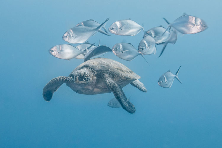 Animal Themes Underwater Sea Animal Animal Wildlife Swimming Water Animals In The Wild Marine Sea Life Turtle UnderSea Blue Vertebrate One Animal Nature Reptile Sea Turtle No People