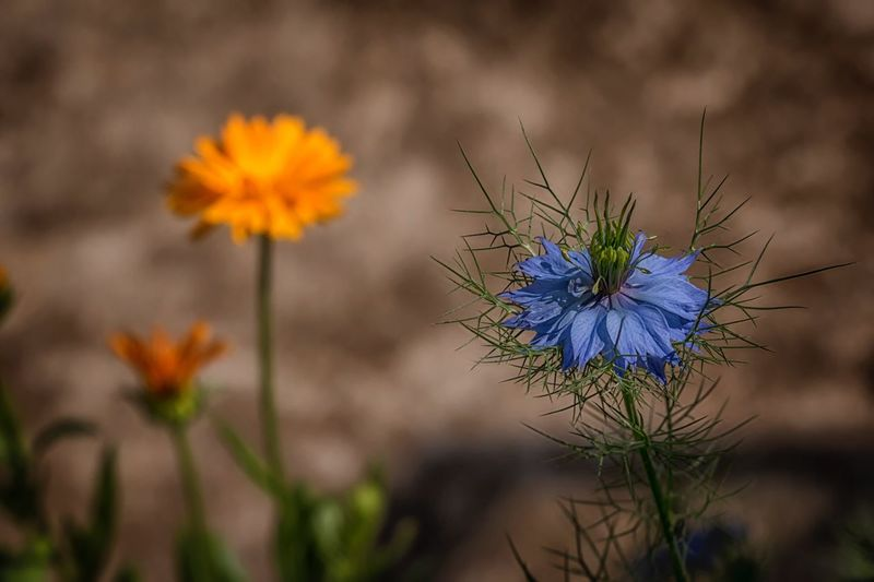 Nigella Garden Photography EyeEm Selects Plant Flower Flowering Plant Freshness Beauty In Nature Fragility Vulnerability  Flower Head Nature Close-up Inflorescence Growth Focus On Foreground Petal No People Blue Outdoors Botany Day Uncultivated