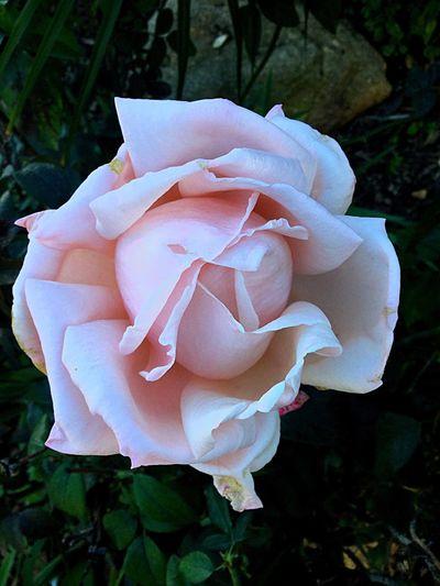 A beautiful Pinkish Rose Flower Petal Freshness Beauty In Nature Single Flower Close-up Rose - Flower Rosé First Eyeem Photo