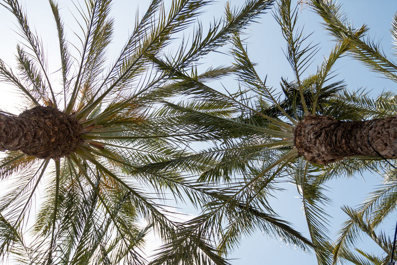 Look up SPAIN Beauty In Nature Clear Sky Day Green Color Growth Leaf Nature No People Outdoors Palm Leaf Palm Tree Plant Sky Spiky Tranquility Tree Tree Trunk Tropical Climate Trunk