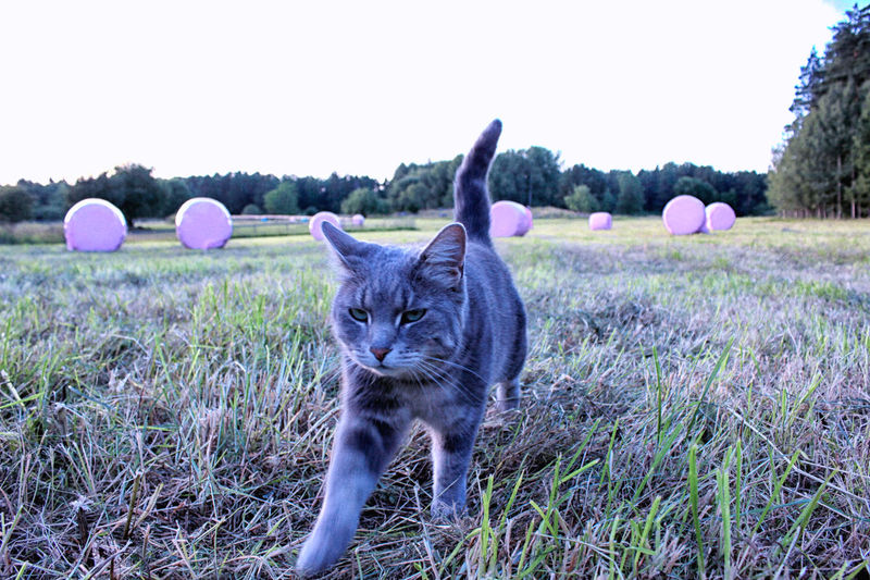 Animal Themes Bale  Cat Day Domestic Animals Domestic Cat Field Grass Grassy Mammal Nature No People One Animal Outdoors Pets Pink Pink Bales Pink Color Rural Scene Tranquility Whisker Zoology
