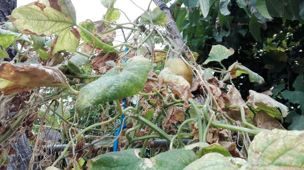 Edited By @WOLFZUACHiV WOLFZUACHiV Photography Huaweiphotography Ionita Veronica WOLFZUACHiV Photos Wolfzuachiv Veronica Ionita Eyeem Market Huawei Photography On Market Edited By WOLFZUACHiV Plants Outdoors No People Growth Nature Leaf Plant Beauty In Nature Close-up Tree Yellow Cucumber Cucumber For Seeds Cucumber Leaf Cucumber Vines