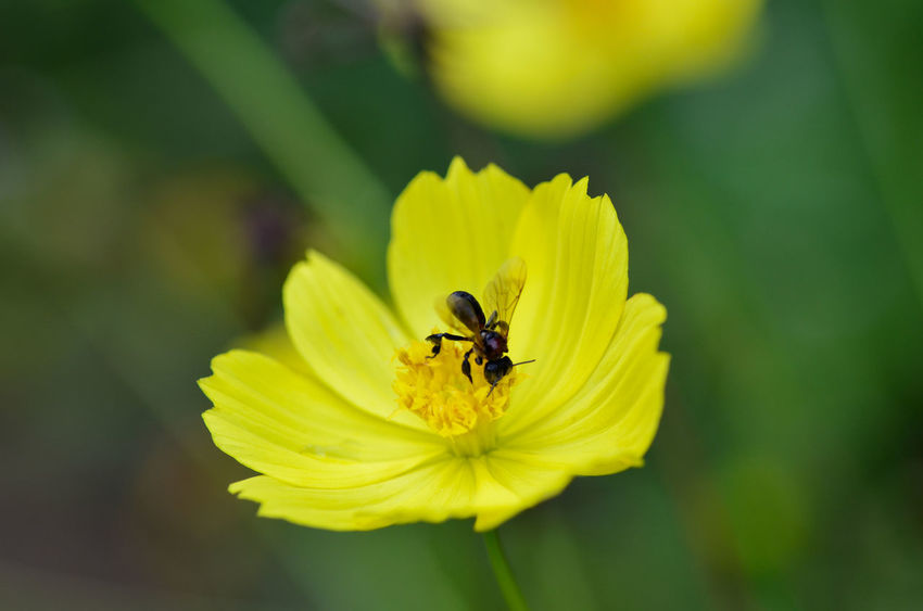 Flowering Plant Flower Beauty In Nature Fragility Yellow Vulnerability  Petal Growth Insect Flower Head Plant Animal Themes Freshness Invertebrate Animal Animals In The Wild One Animal Animal Wildlife Close-up Inflorescence Pollen No People Pollination Outdoors