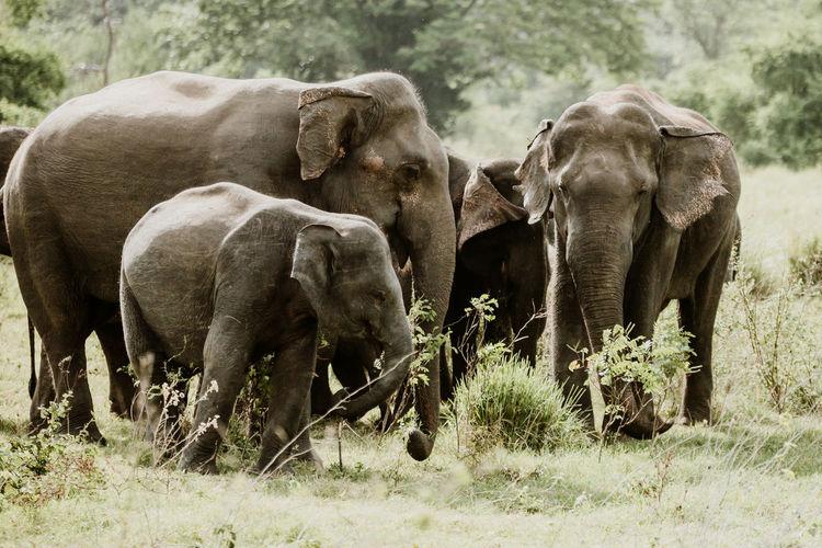 Herd of elephants at field