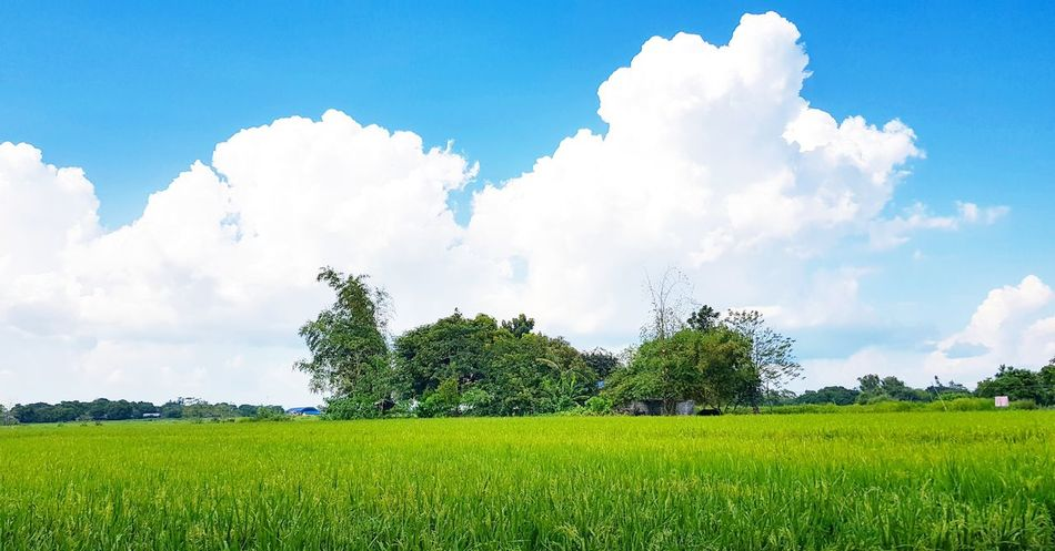 Abundance under a beautiful sky. Rlm12 Nueva Ecija Philippines Abundance Rice Field Nature Rural Scene Sky Grass Crop  Farmland Rice Paddy