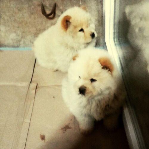Chivas 🐕Layd 🐕 Çin Aslan'ı 😄chow chow 🐕i love my dog 😊EyEm photo