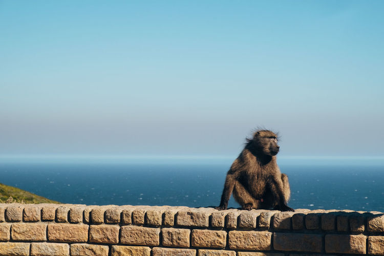 Baboon looking at the ocean - cape of good hope