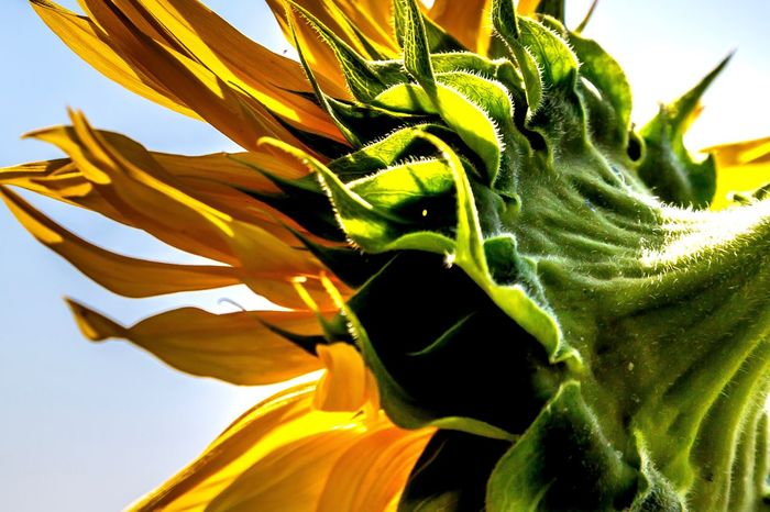 Summer II Sunny Sun Nature Macro Close-up Sunflower Growth Plant Close-up Beauty In Nature Nature No People Leaf Plant Part Green Color Flower Sunlight Vulnerability  Day Fragility Yellow Flowering Plant Freshness Flower Head Petal Inflorescence