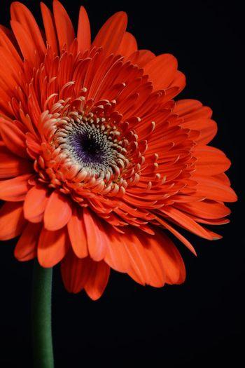 Close-up of orange gerbera daisy flower against black background