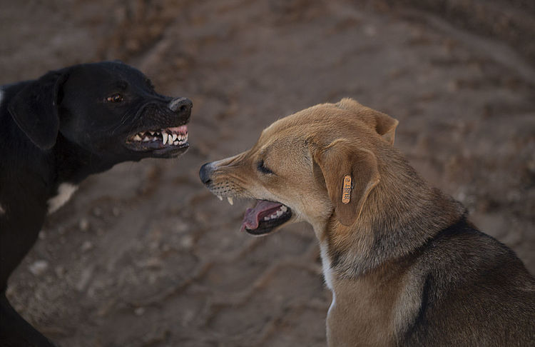EyeEmNewHere Stray Dogs Dog Tales Rescue And Sanctuary Hurghada Egypt Stray Dogs Aggression  Anger Animal Animal Body Part Animal Head  Animal Mouth Animal Themes Animal Tongue Canine Dog Dogs Arguing Dogs Discussion Domestic Domestic Animals Egyptian Dogs Egyptian Stray Dogs Facial Expression Focus On Foreground Hurghada Mammal Mouth Mouth Open One Animal Pets Snarling