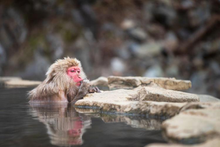 Japanese snow monkey macaque eat while bathing on hot spring onsen at jigokudani monkey park