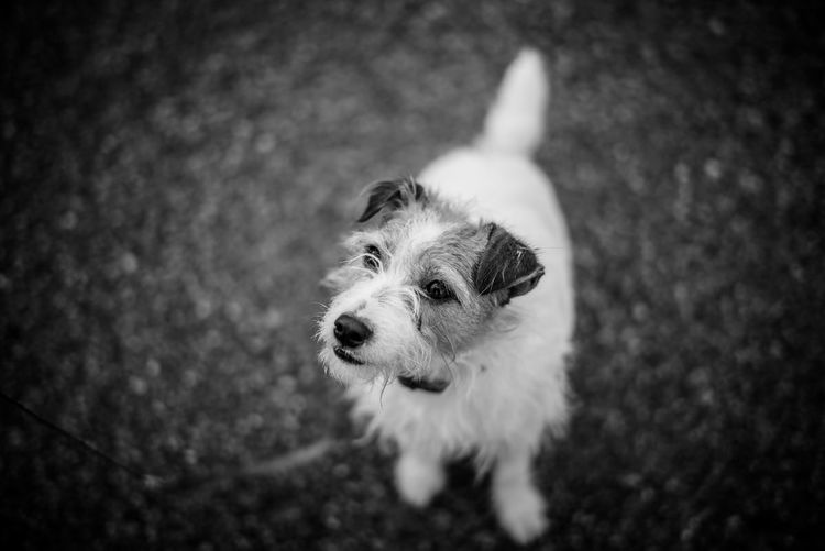High Angle View Of Jack Russell Terrier