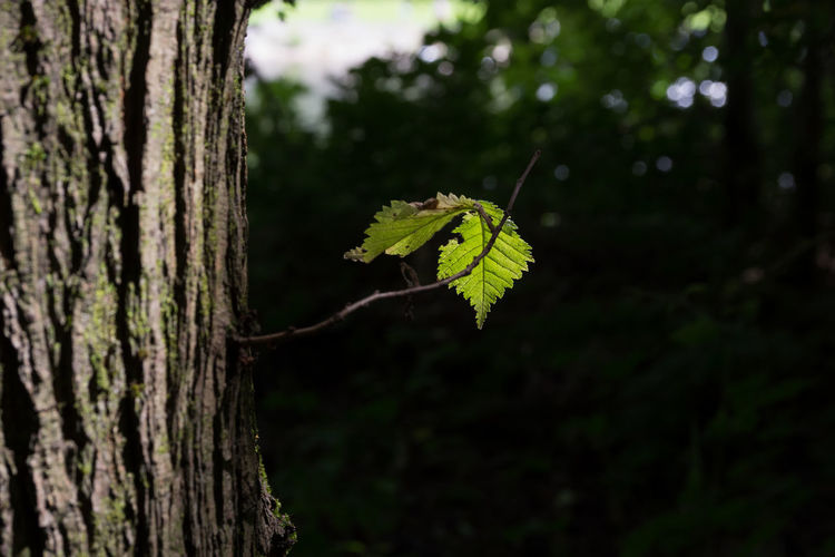 Caught in the light Plant Tree Tree Trunk Trunk Focus On Foreground Nature Growth Close-up Land No People Plant Part Leaf Forest Outdoors Day Beauty In Nature Green Color Tranquility Plant Stem Selective Focus Bark