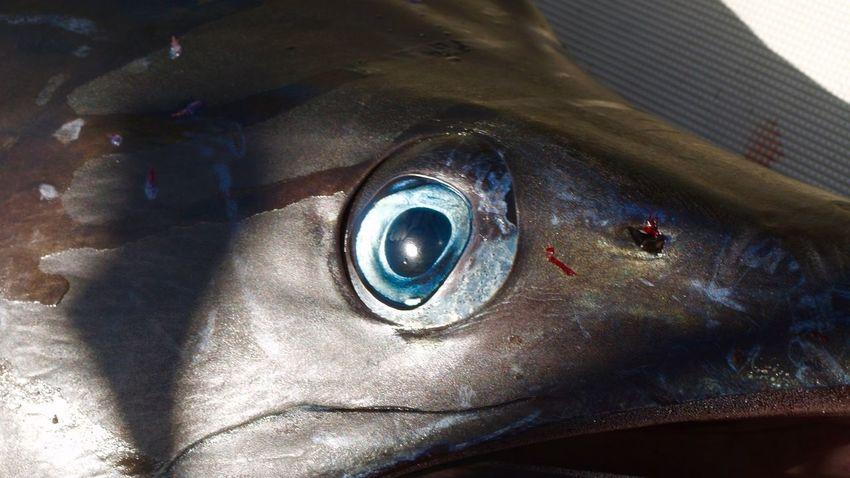 Blue Marlin Eye Eye Marlin Bleu Blue Marlin Blue Color Fishing Boat Blue-fishing Creative Fish EyeEmNewHere Fishing Net Fisherman Ocean Creativity Oceanlife Eye Close-up Representation Eyeball EyeEmNewHere
