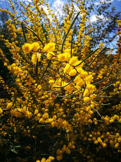 Nature Close-up No Filter Western Australia Day Mission Yellow Yellow Flowers Beauty In Nature HuaweiP9Photography HuaweiP9 Growth Freshness Full Frame Flower Abundance Blooming Tranquility WA Wildflowers Fragility Tree Branch Wattle Flower Yellow Spring Flowers