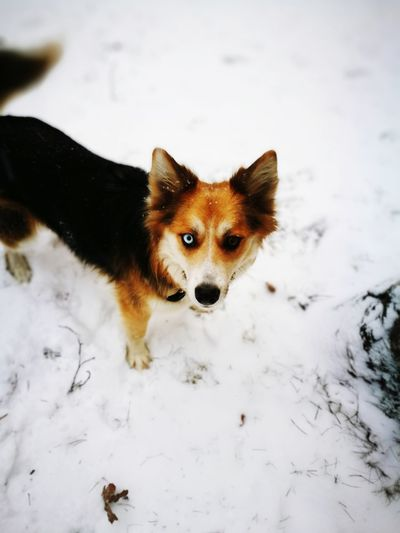 white and fox Eyes Dog Pets Snow One Animal Winter Cold Temperature Pembroke Welsh Corgi Domestic Animals Animal Themes Animal Portrait Outdoors No People