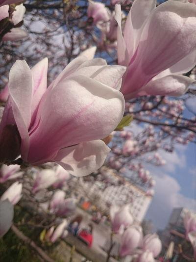 Magdeburg Flower Power Sun Laecheln Tulpenbaum
