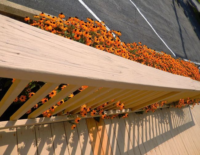 High Angle View Of Black-Eyed Susan Growing By Railing
