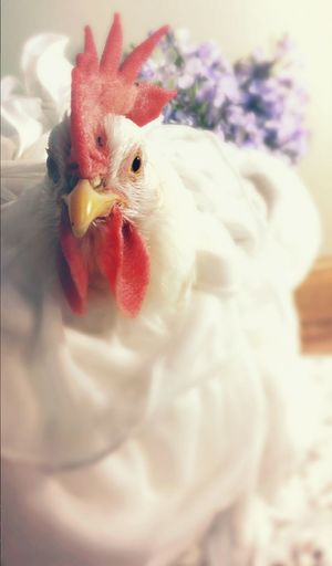 Chicken - Bird Domestic Animals Livestock Bird Rooster One Animal FUNNY ANIMALS Funny Pets Pet Love Petslife Pet Photography  Animallovers Pets Of Eyeem Birds Animal Photography Pet Photography  Petstagram Birds Of EyeEm  Birds🐦⛅ Birds_collection Indoors  Funny Chickens Chickens Of Eyeem Chickens >.< Pet Portraits