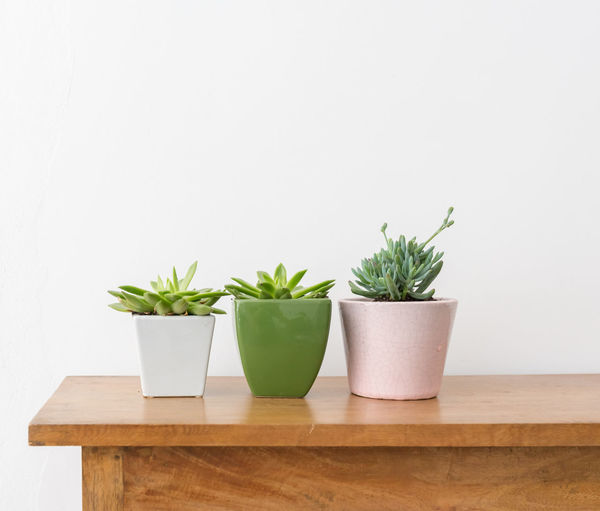 Succulents in pots on wooden table Plant Potted Plant Growth Indoors  Green Color Nature Leaf No People Table Wood - Material Plant Part Wall - Building Feature Studio Shot Freshness Herb Copy Space Succulent Plant Houseplant Close-up White Background Flower Pot