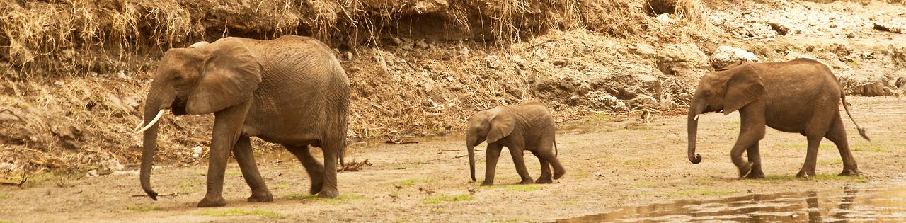 BOTSWANA Chobe Chobe River African Elephant Animal Themes Animal Trunk Animal Wildlife Animals In The Wild Day Elephant Elephant Calf Mammal Nature No People Outdoors Safari Safari Animals Young Animal