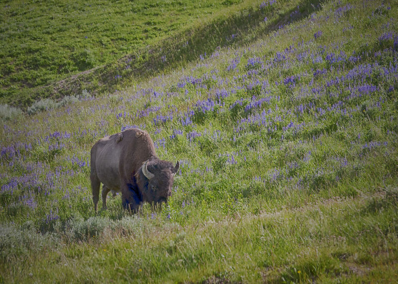 Amazing View Animals In The Wild Beauty In Nature Bison Grass Magnificent Beasts Outdoors Wyoming Adventure Wyoming Wildlife Yellowstone National Park