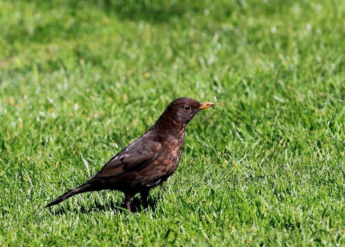 Bird Photography Bird Brown Grass Grassy Avian No People Close-up Beautiful Beautiful Nature Berwickupontweed Berwick Berwick-upon-tweed