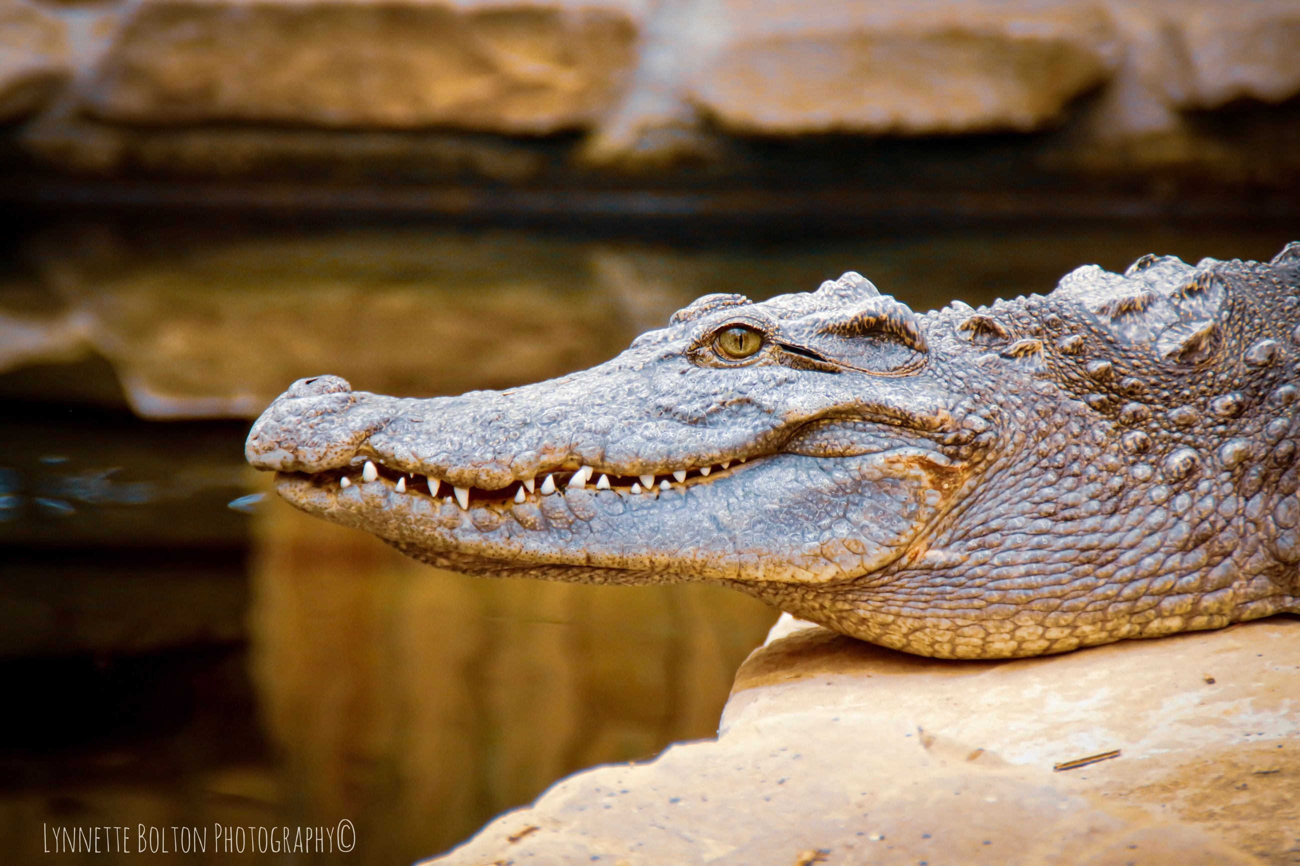 reptile, crocodile, animal wildlife, one animal, animal themes, animal, animals in the wild, vertebrate, water, no people, animal body part, focus on foreground, close-up, nature, animal head, day, sign, rock, communication, animal teeth, profile view, mouth open, animal mouth