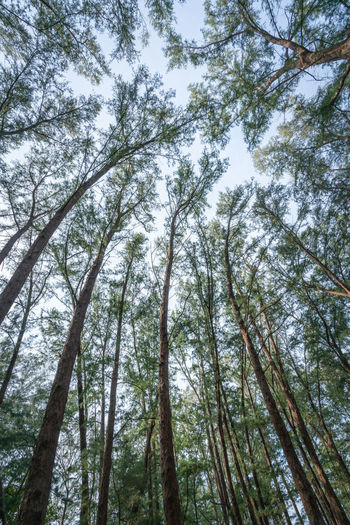 Tree Plant Forest Low Angle View Land WoodLand Growth Tree Trunk Beauty In Nature Trunk Tranquility Nature Day Tall - High No People Scenics - Nature Full Frame Backgrounds Tree Canopy  Sky Outdoors Pine Tree Bamboo - Plant Pine Woodland Coniferous Tree