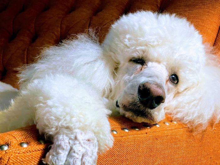 Close-up portrait of a dog resting