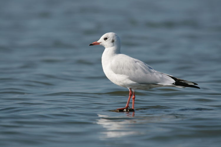 Close-up of seagull in water