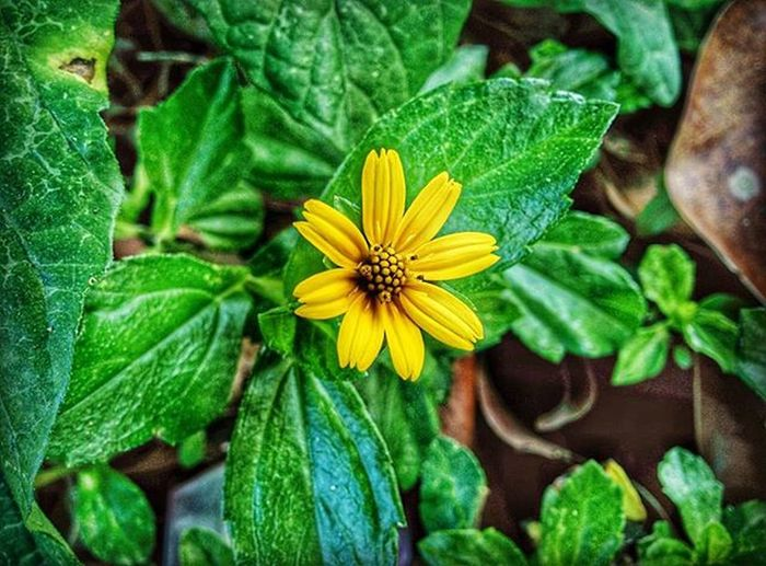 Wedelia trilobata Wedeliatrilobata Groundcover Photooftheday Flower Snapseed Nexus5photography Photo_hdr Kampung Sungaijelutong Macro Macrophotography Landscape Landscape_lovers Macro Beauty