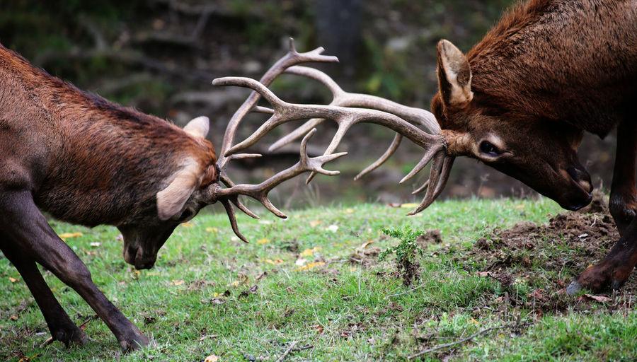 Deer fighting on field in forest