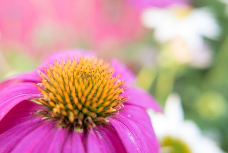 EyeEmNewHere Flower Fragility Pink Color Petal Flower Head Nature No People Outdoors Close-up Blooming Freshness Beauty In Nature