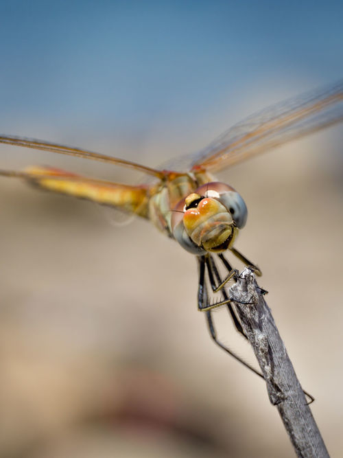 Insect Animal Wildlife One Animal Animals In The Wild Macro Animal Themes Close-up Animal Focus On Foreground Nature No People Day Summer Outdoors Fragility Animal Leg Portrait Beauty In Nature Dragonfly Smile