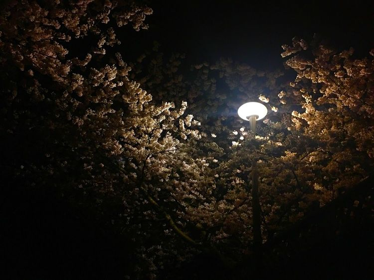 https://youtu.be/CJouuLQfVv0 Sacura Tree Night Beauty In Nature Nature Moon Low Angle View No People Growth Scenics Branch Outdoors Tranquility Sky Illuminated Close-up For My Friends That Connect