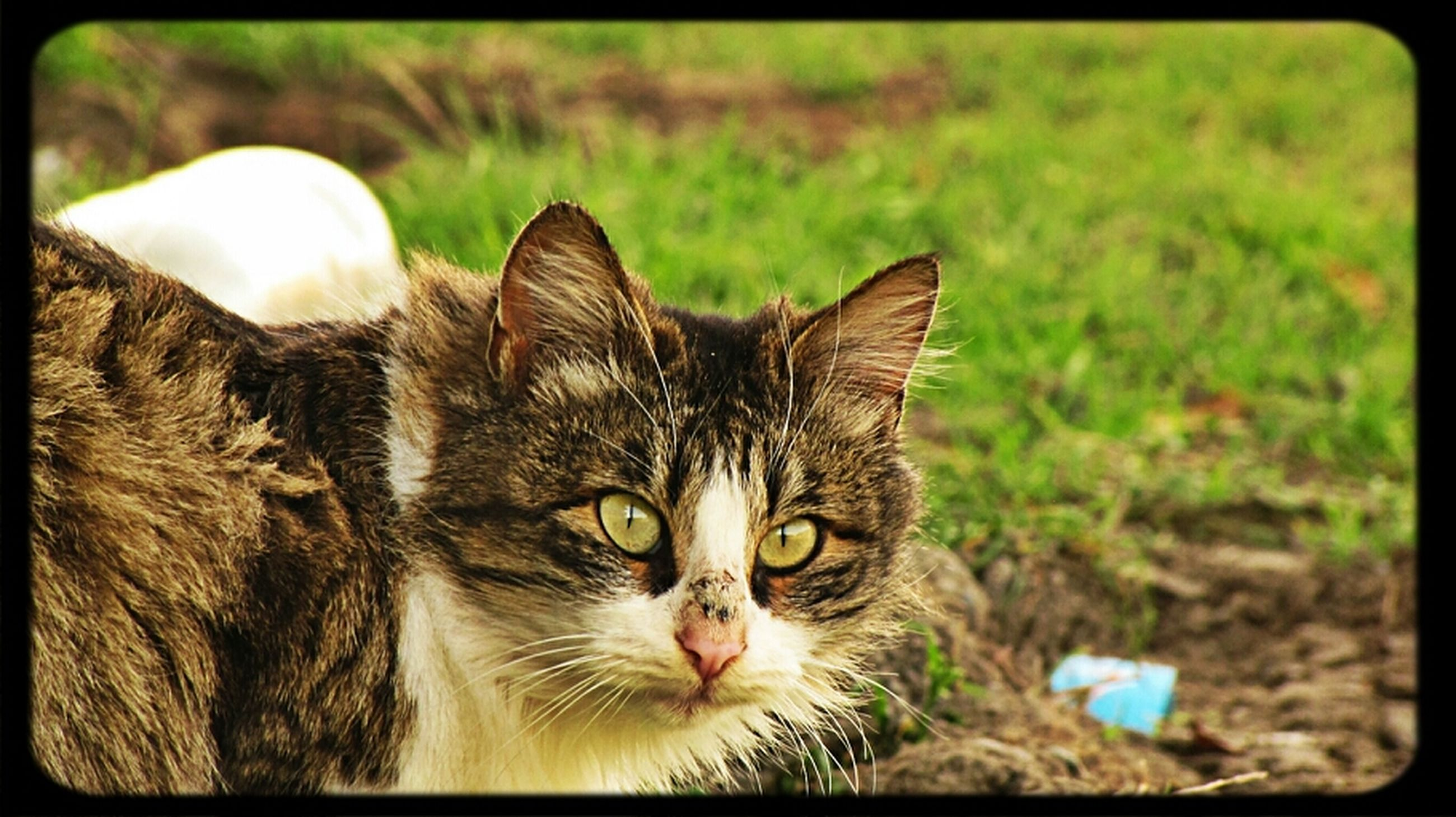 domestic cat, pets, cat, one animal, animal themes, transfer print, domestic animals, feline, mammal, portrait, whisker, auto post production filter, looking at camera, close-up, relaxation, focus on foreground, animal head, staring, alertness, front view
