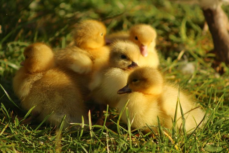 Farm Ducklings