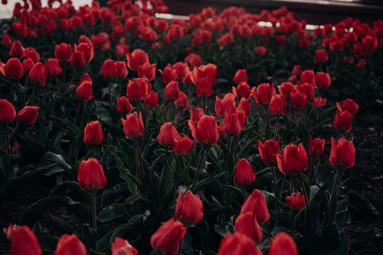 Tulips Tulip Red Flowers Flower Flowering Plant Plant Growth Beauty In Nature Fragility Vulnerability  Freshness Nature Petal Red Close-up No People Inflorescence Outdoors Flower Head Land Field Day Botany Abundance Flowerbed Springtime Gardening Spring