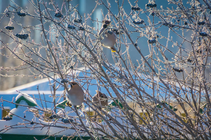 Wintertime Animal Animal Themes Animal Wildlife Animals In The Wild Beauty In Nature Bird Branch Cherry Blossom Day Flower Flowering Plant Growth Low Angle View Nature No People One Animal Outdoors Perching Plant Springtime Tree Vertebrate Waxwing Waxwings White Color