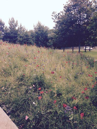 Scotland Schottland Eye Em Scotland Flowers Poppy PoppySeed Poppy Flowers Nature Edinburgh