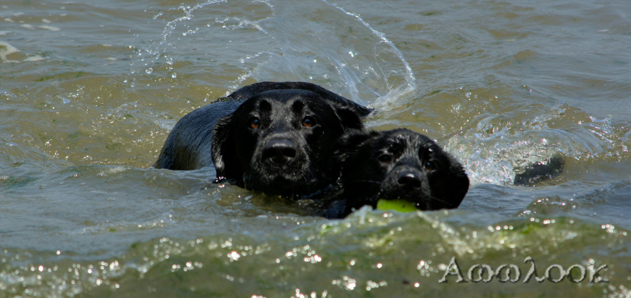 dog, water, animal themes, mammal, pets, domestic animals, black color, one animal, portrait, looking at camera, waterfront, wet, high angle view, lake, two animals, sea, day, nature, outdoors, river