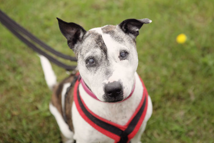 Staffie Adoption RSPCA Staffie Staffies There Softer Than You Think Staffordshire Bull Terrier Staffy