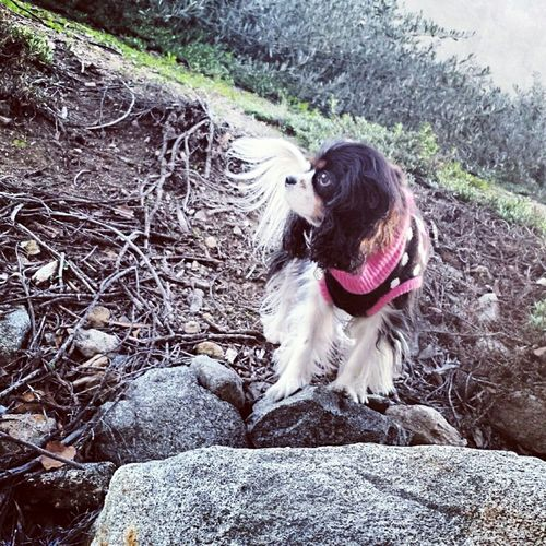 Cavalier King Charles Spaniel Dog Love Dog Enthusie Animal Photography Pet Photography  Mycavalier California Dreaming Melissaoc Photography