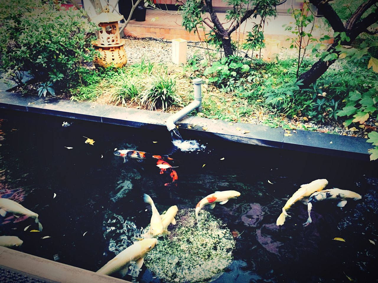 water, animal themes, high angle view, nature, koi carp, fish, animals in the wild, swimming, sea life, carp, no people, plant, large group of animals, outdoors, day, beauty in nature, close-up