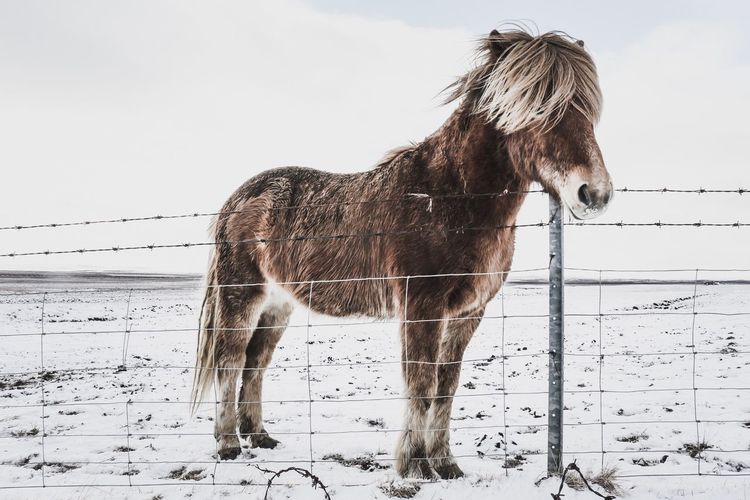 Icelandic horse Horse Winter Snow Iceland
